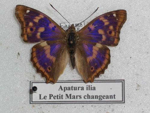 Petit Mars Changeant M