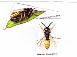 Philanthus triangulum Le Philanthe apivore