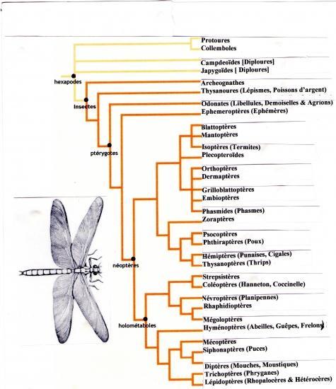 Echelle Phylogénitique