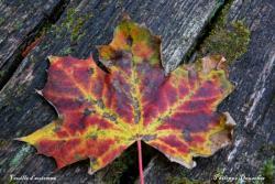 Feuille en automne à Colombier Fontaine - Doubs - Octobre 2009