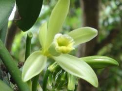fleur de vanille
