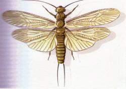 Perlodes microcephala F