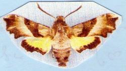 Proserpinus proserpina Sphinx de l'Epilobe, ou Sphinx de l'Oenothère. Espèce Protégée.