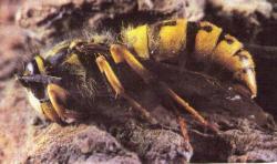 Hivernation de Vespa crabro (Frelon)les jeunes reines passent l'hiver dans la terre ou les écorces d'arbres morts