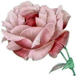 rosa indicata