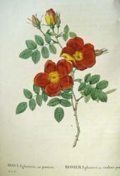 Rosa églanteria 1