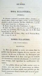 Rosa églantéria 2
