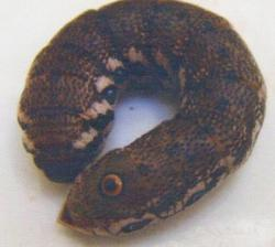 Chenille adulte de Proserpinus proserpina