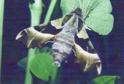 Proserpinus proserpina Imago a déjà éclos