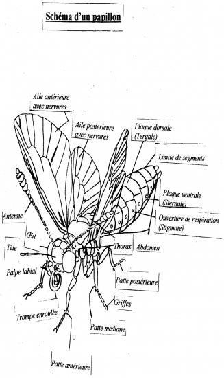 Anatomie d'un Papillon