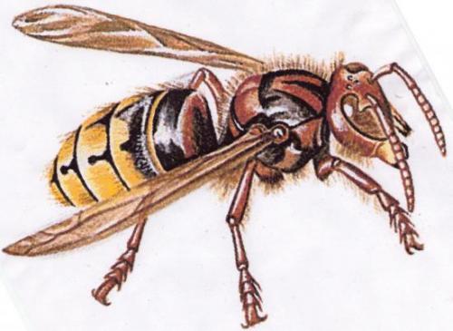 Vespa crabro - Le Frelon est le plus redoutable ennemi des papillons Dessin A.M.B.