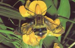 Hemaris tityus le Sphinx Gazé Photo A.M.B Août 1999