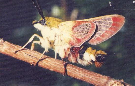 Hemaris fuciformis le Sphinx Bourdon, il n'a pas encore pris son envol, on aperçois ses écailles. Il les perd au premier battement des ailes.