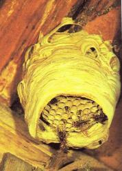 Nid de Vespa crabro en construction, le nid de novembre1998 mesurant 70 cm de longueur et 40 cm de diamètre