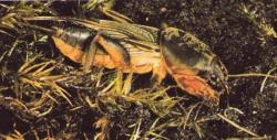 Gryllotalpa gryllotalpa Courtilière, Taupe-grillon