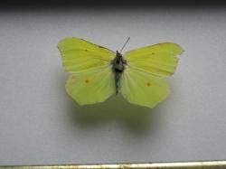 Gonepteryx cleopatra Le Citron de Provence ( Female)