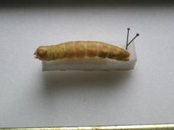 Laothoe populi / larva