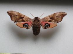 Smerinthus occelata - Le Sphinx Demi- Paon (Female).