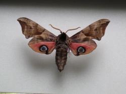 Smerinthus occelata - Le Sphinx Demi- Paon (male)