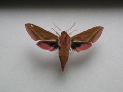 Deilephila elpenor - Le Gd Sphinx de la Vigne