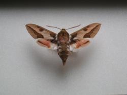 Hyles euphorbiae - Le Sphinx de l'Euphorbe