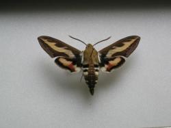 Hyles gallii - Le Sphinx de la Garance (Male)