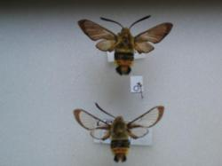Hemaris tityus - Le Sphinx Bourdon / en Ht H. tityus après éclosion il possède encore ses écailles