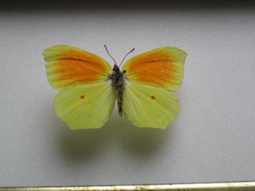 Gonepteryx cleopatra Citron de Provence Mâle