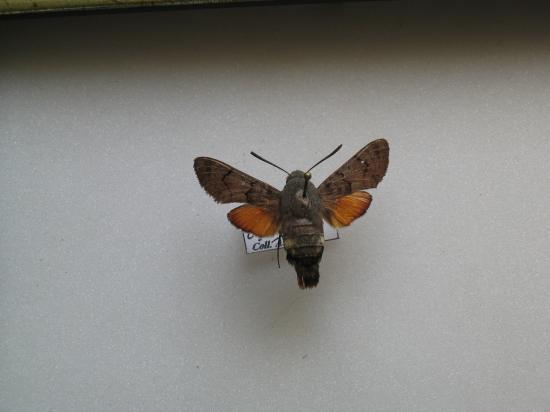 Macroglossum stellatarum - Le Moro -sphinx