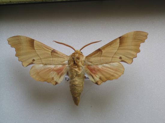 Marumba quercus - Le Sphinx du Chêne