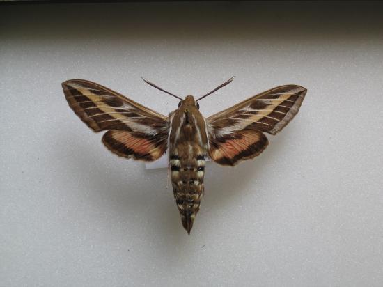 Hyles lineata livornica - Le Sphinx livournien