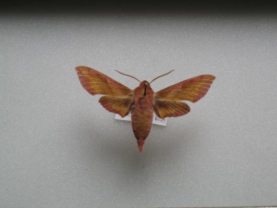 Deilephila porcellus -Le Pt Sphinx de la Vigne