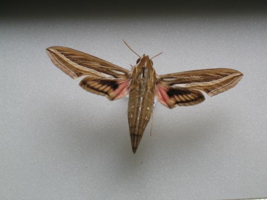 Hippotion celerio- Le Phoenix