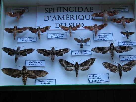 Boîte de Sphingidae Exotiques