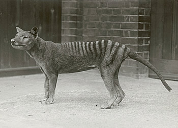 Cryptozoologie cryptozoology thylacine Thylacinus cynocephalus loup marsupial tigre de tasmanie