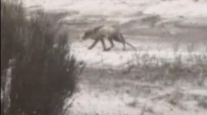 Cryptozoologie cryptozoology thylacine Thylacinus Thylacinus cynocephalus loup marsupial tigre de tasmanie