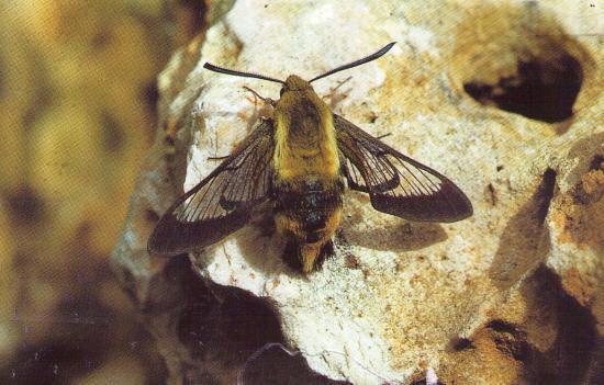 Hemaris fuciformis au repos (Le Sphinx Bourdon).
