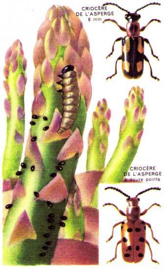 Les Coléoptères des Jardins Les Criocères de l'Asperge