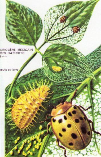 Les Coléoptères des Jardins; Le Criocère des Jardins un vrai fléau