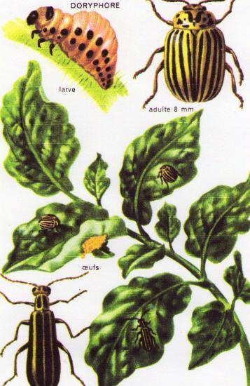 Les Coléoptères des Jardins. Les Pires Ennemis du Jardinier