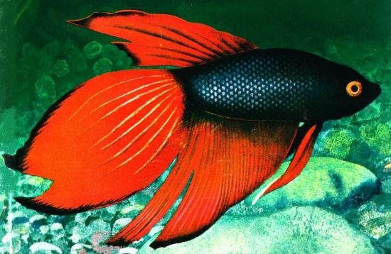 Pin bmw x6 noir mat on pinterest for Achat poisson combattant