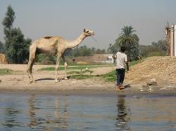 Dromadaire. 2008