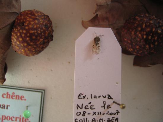 Galle du chêne. L'Insecte que l'on apreçois sur la paillette est un hyménoptère c'est une F agame d'Andricus kollari