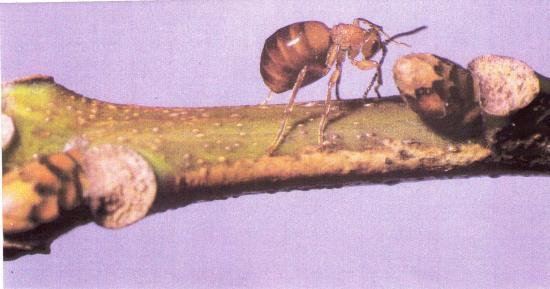 Cynips du chêne Femelle aptère