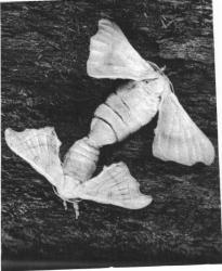 Cycle vital de Bombyx mori / Le Bombyx du Murier fig. 148
