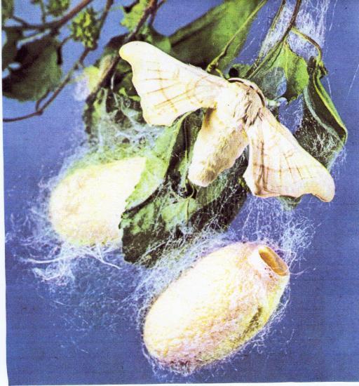 Cycle vital de Bombyx mori / Le Bombyx du Murier sur son cocon