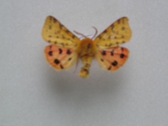 Rhyparia purpurata L. l'Ecaille Pourprée