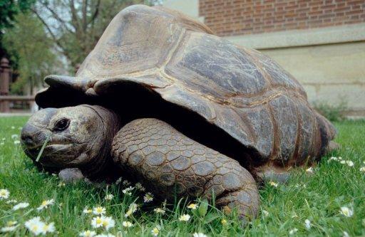 zoologie zoology Kiki tortue tortue géante des seychelles carapace reptile 150 000 individus terrestre espèce menacée seychelles 1923 France doyen des français Geochelone gigantea 146 ans