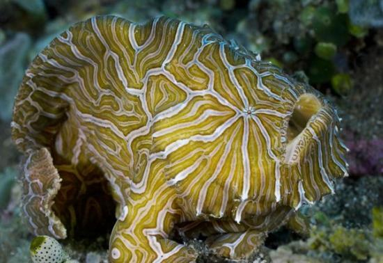 zoologie-poisson psychédélique-Histiophryne psychedelica-ichtyologie-Indonésie-Ambon-poisson crapaud-Philippe Mind-poisson qui marche