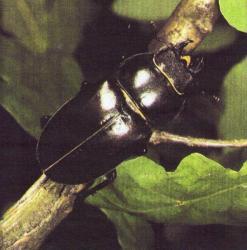 Lucanus cervus - Le Lucane cerf-volant (F)